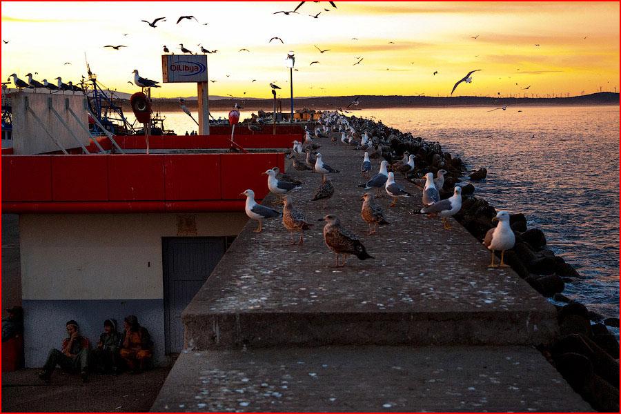 Чайки порта Эссуэйра  (гей блюсик 11291)