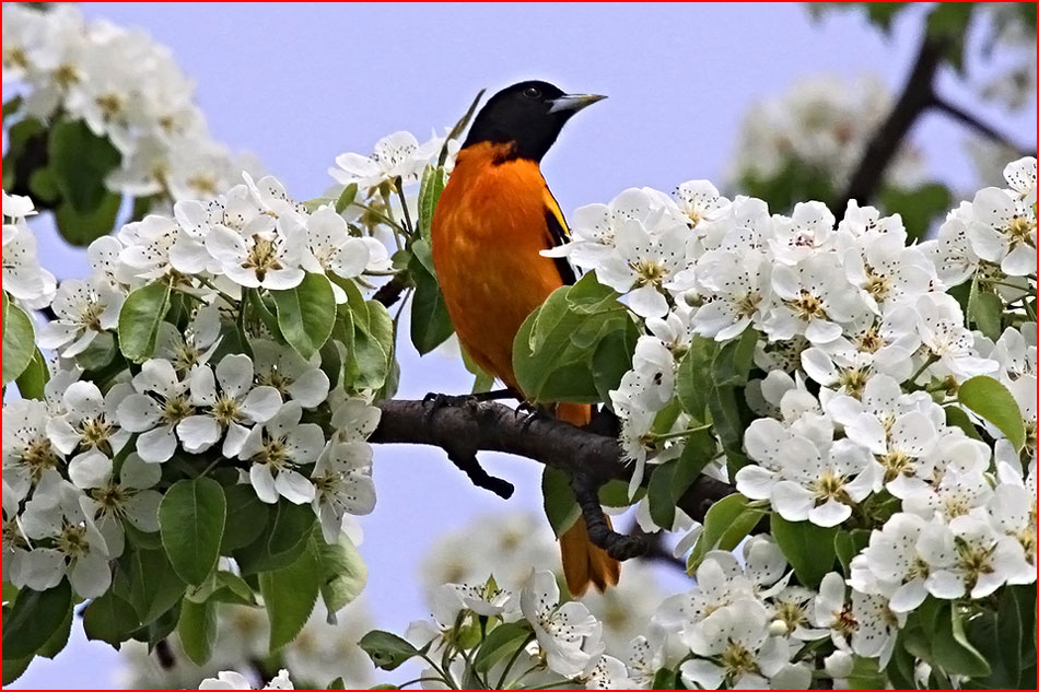 Сады цветут!  (гей блюсик 12059)