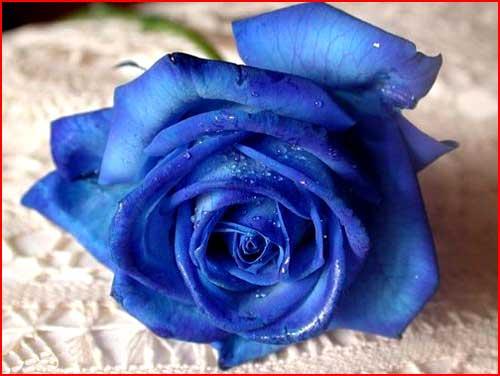 Голубая роза  (гей блюсик 1229)