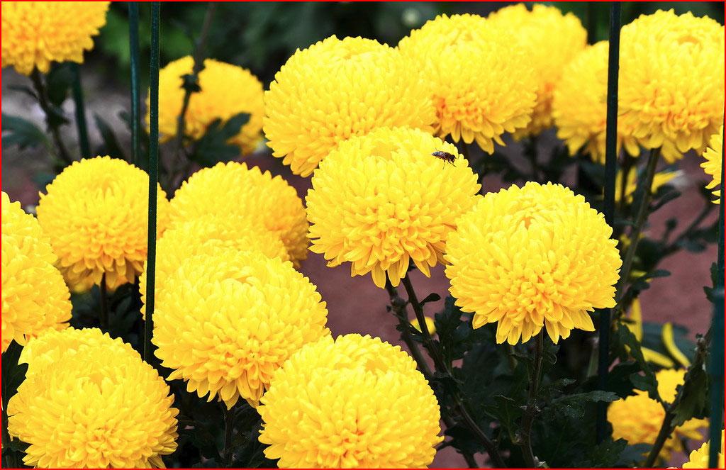 Хризантемы  (гей блюсик 12827)