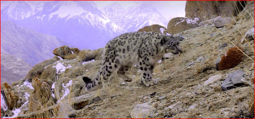 Снежный барс в Гималаях (видео)  (гей блюсик 14344)