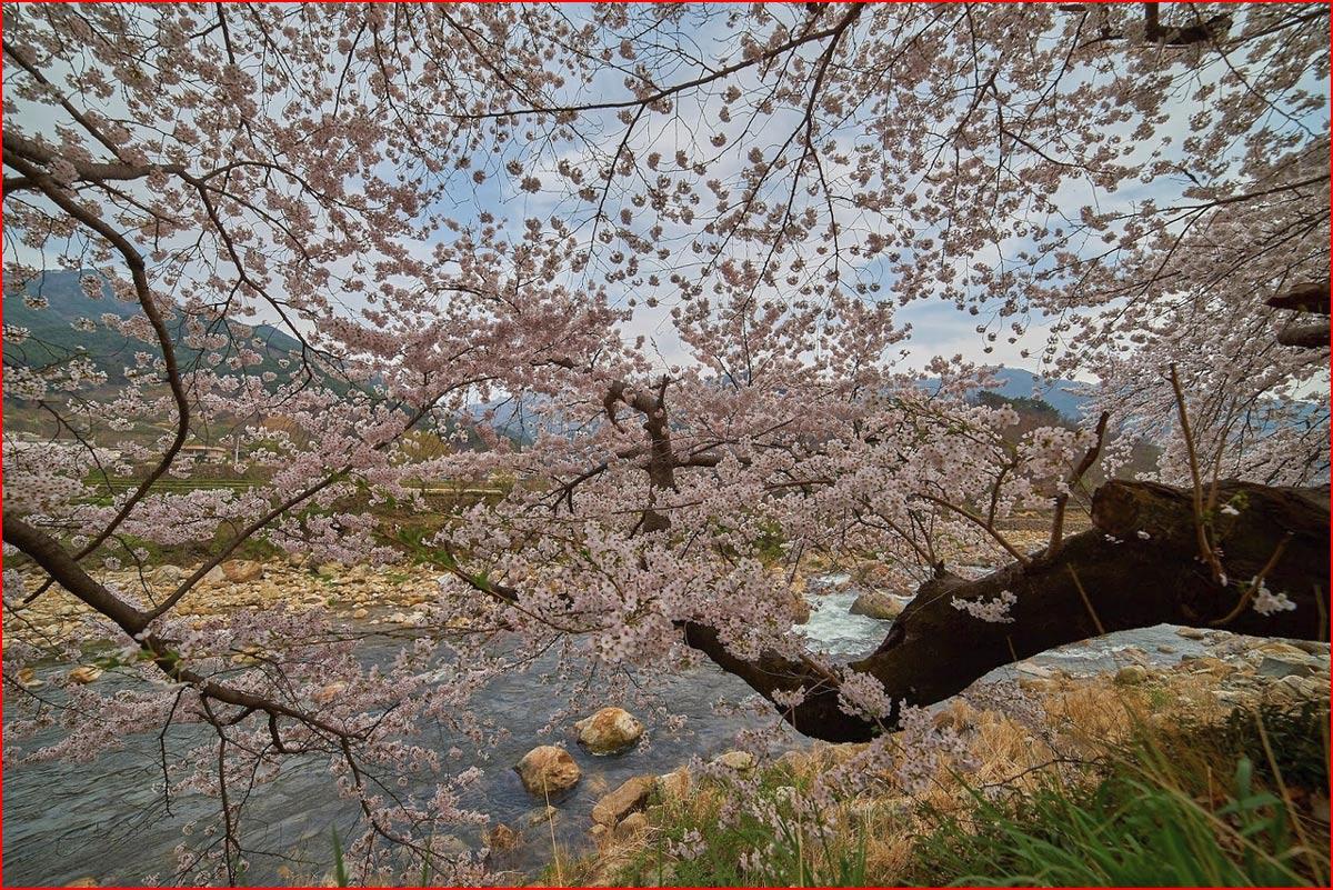 Цветение вишни в Корее  (гей блюсик 14727)