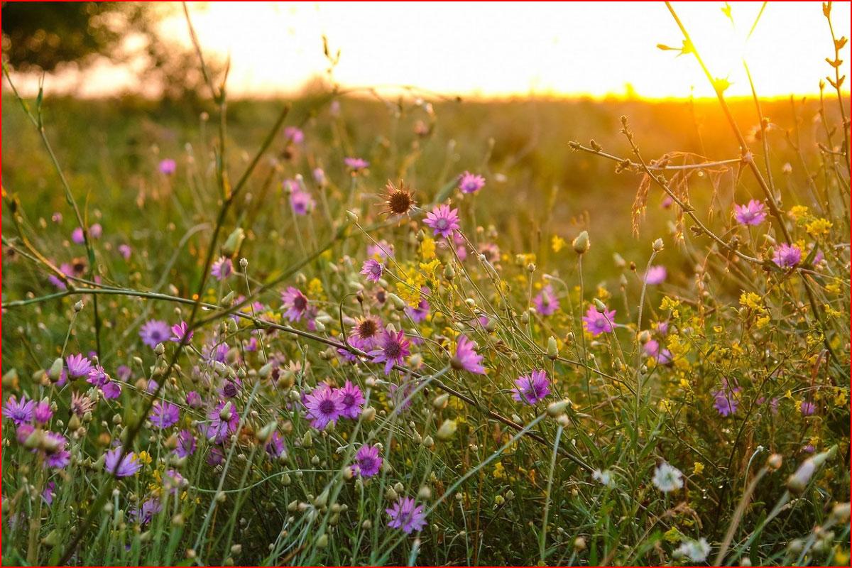 Закат в цветах и пшенице  (гей блюсик 14735)