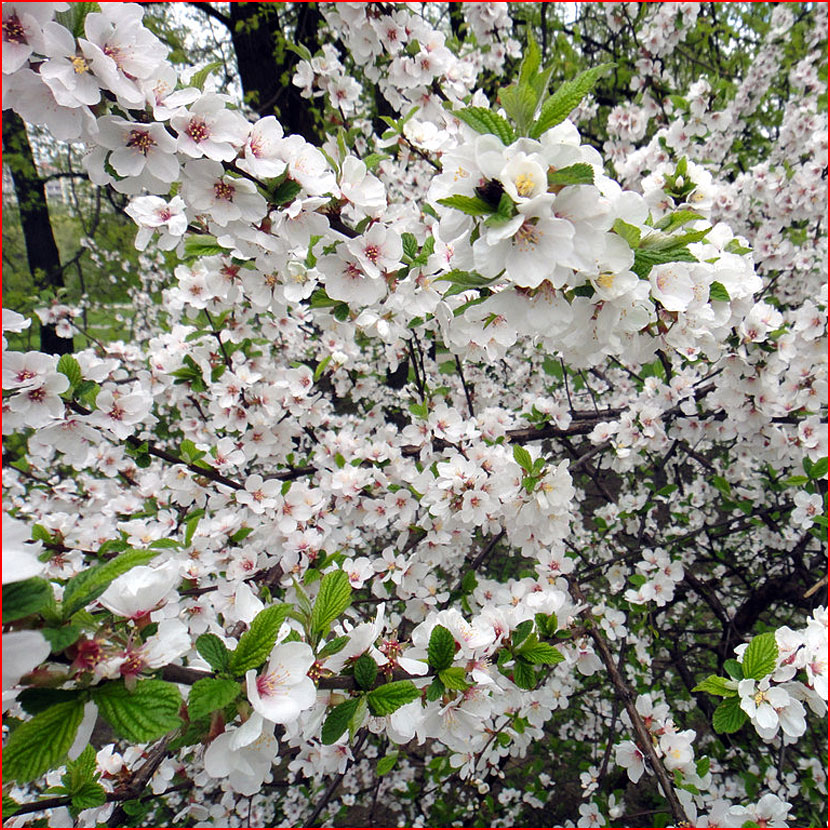 Весна цветёт  (гей блюсик 16443)