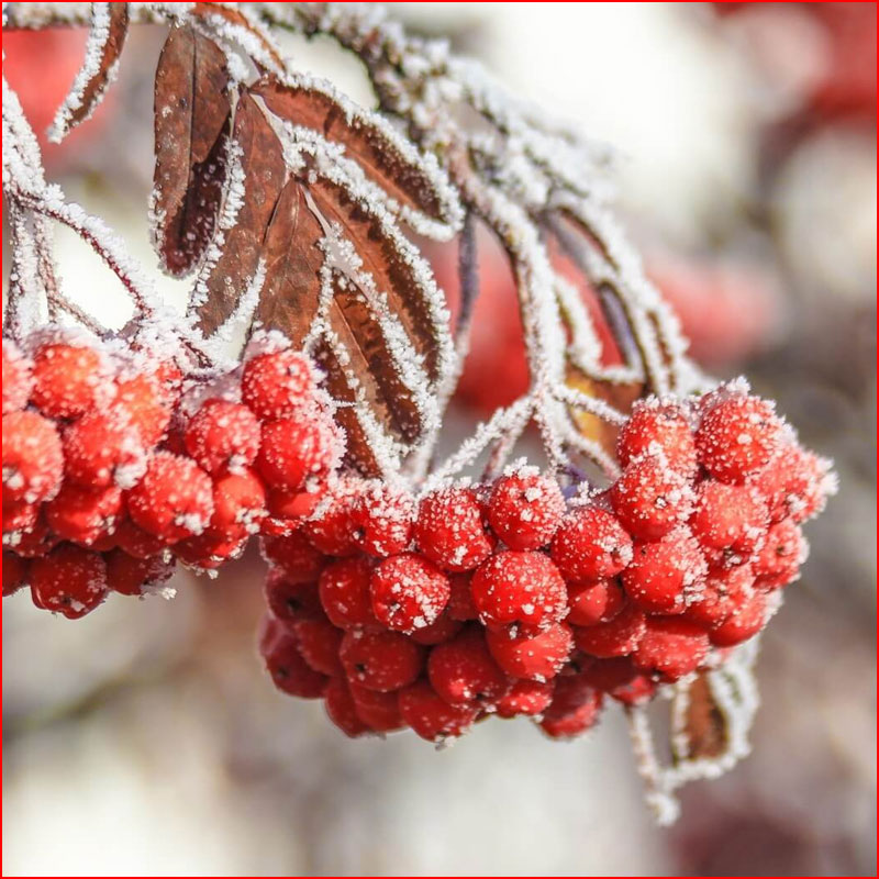 Зимняя фотозарисовка: Снегири и рябина  (гей блюсик 17479)