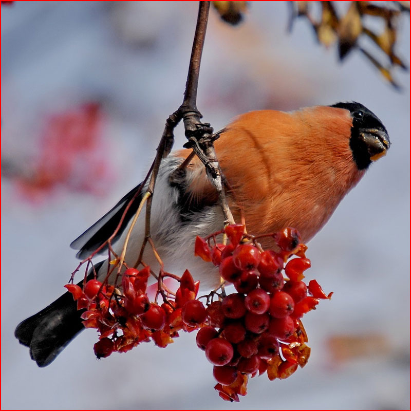 Зимняя фотозарисовка: Снегири и рябина