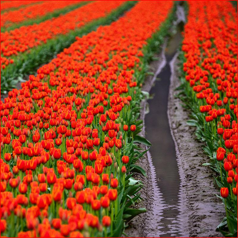 Фестиваль тюльпанов  (гей блюсик 17651)