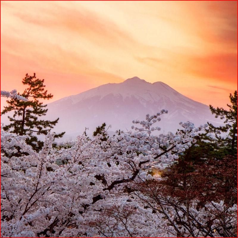Пора цветенья сакуры  (гей блюсик 17703)