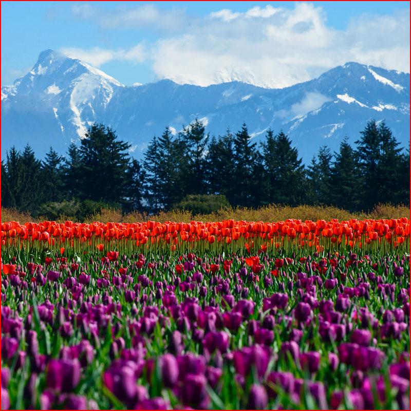 Праздник весны  (гей блюсик 17775)