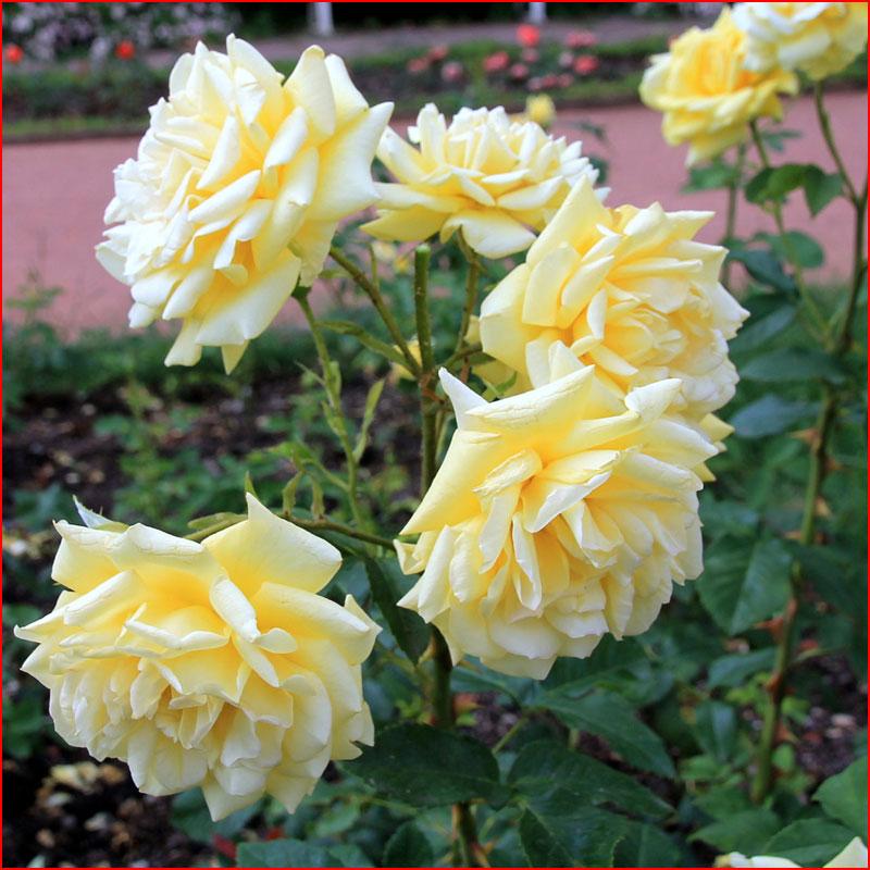 Парк роз  (гей блюсик 18231)