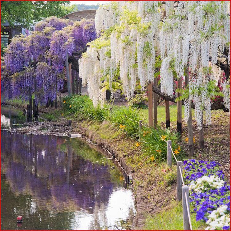 Парк Асикага и цветочный дождь  (гей блюсик 19375)