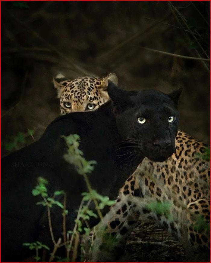 В погоне за чёрной пантерой  (гей блюсик 19659)