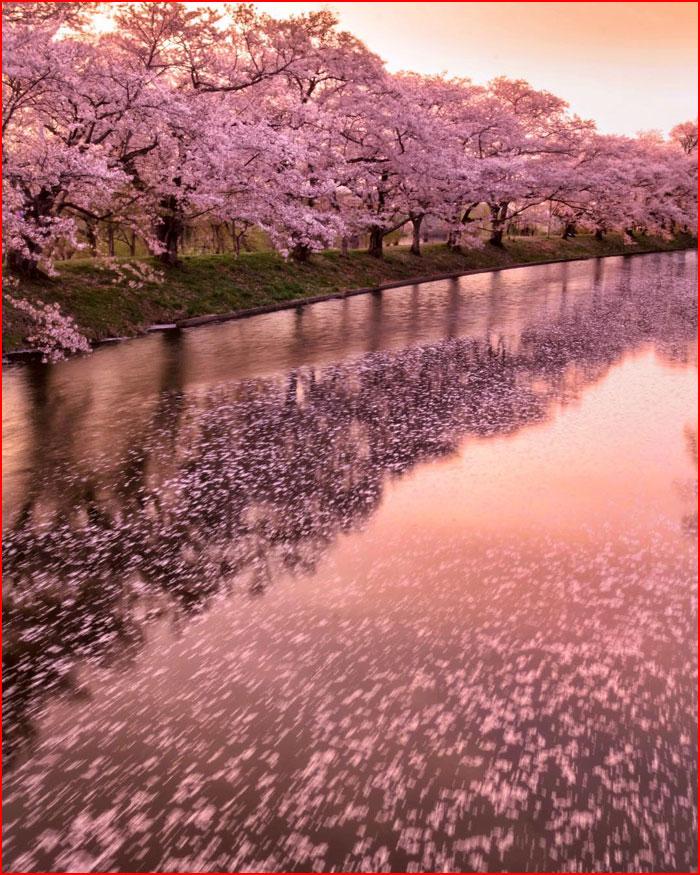 Сакура на фотографиях Макико Самедзима  (гей блюсик 20583)