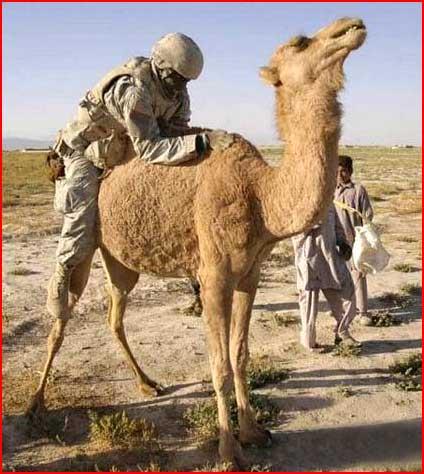 Оседлал верблюда  (гей блюсик 4357)