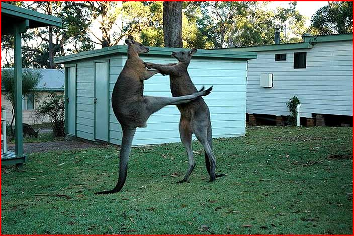 Бои животных  (гей блюсик 5387)