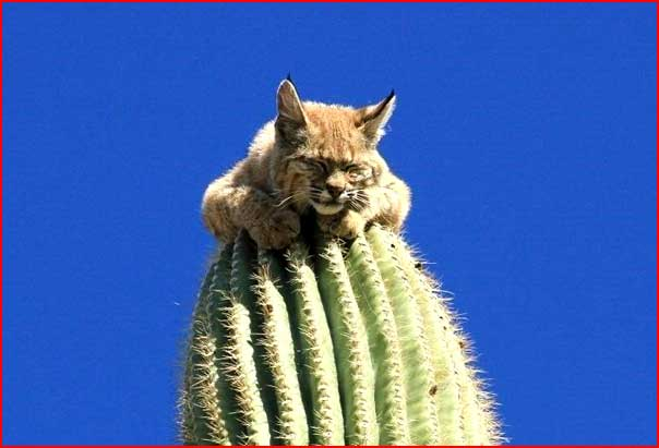 Рысь на кактусе  (гей блюсик 6333)