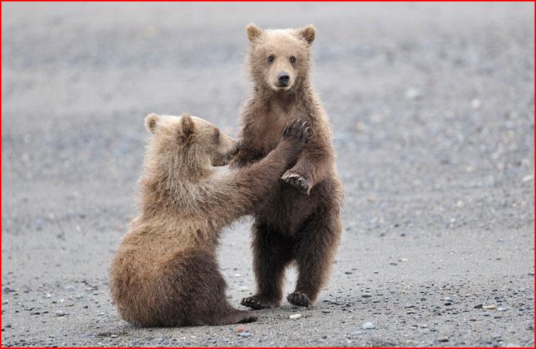 Медведи на Камчатке  (гей блюсик 7515)