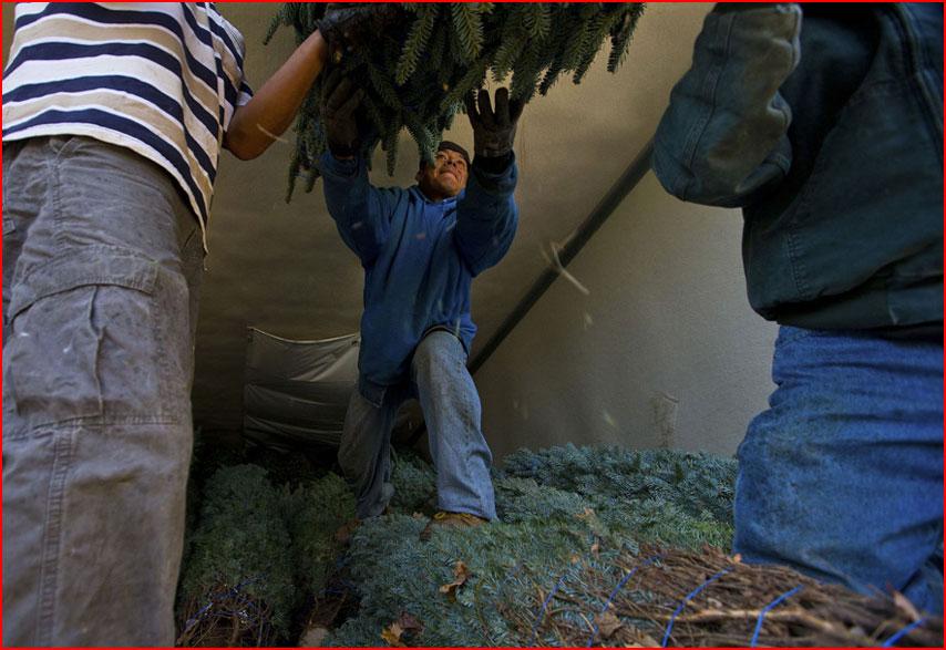 Как готовят рождественские ёлки в Америке  (гей блюсик 8499)