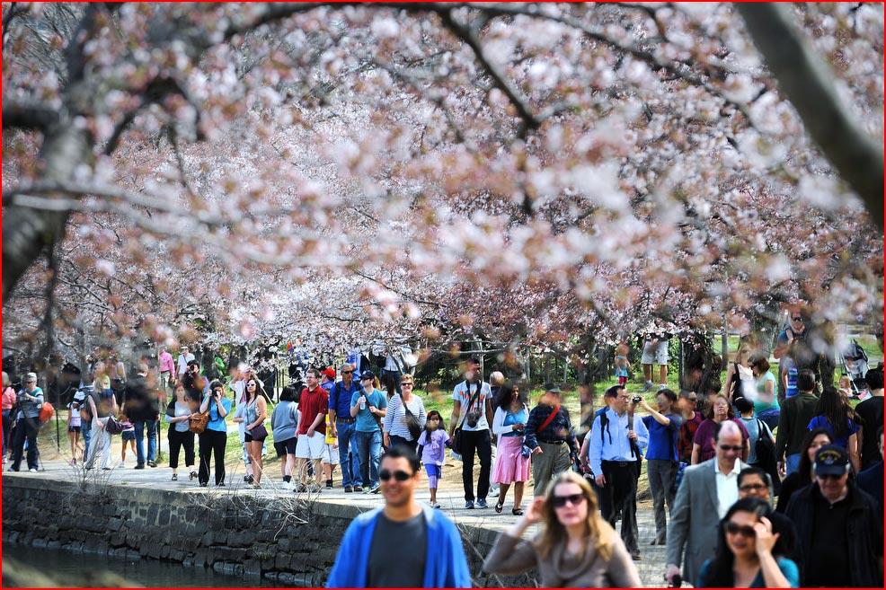 Фестиваль цветения сакуры в Вашингтоне 2013  (гей блюсик 9027)