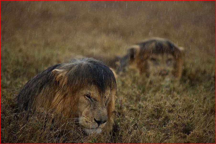 Львы  (гей блюсик 9515)