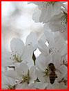 Цветение вишни в Корее  (гей фото, блюсик 14727)
