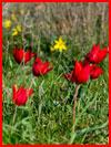 Фестиваль тюльпанов в Калмыкии  (гей фото, блюсик 16459)